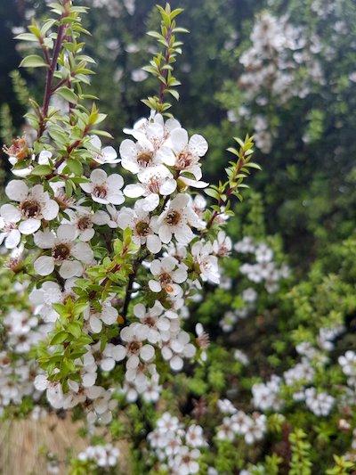 fiori di Manuka per olio essenziale e miele